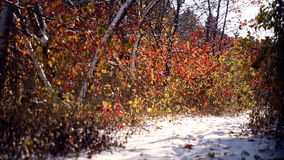 Snow path in autumn park. Multicolored autumn wood in the first snow. The leaves fall on the snow in the park. Snow path in autumn park. Multicolored autumn stock footage