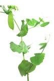 Snow pea Pisum sativum, Pisum saccaratum Stock Photo
