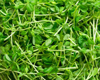 Snow pea shoots. Close up of snow pea shoots Royalty Free Stock Photography