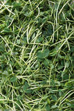 Snow pea shoots or sprouts Royalty Free Stock Image