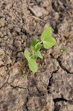 Snow Pea sprout Royalty Free Stock Photos