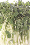 Snow Pea Sprouts Isolated Stock Photography