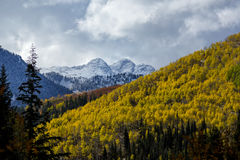 Snow Peaks Gold Aspens. Autumn colors and snow on the Wasatch mountains of Utah up Big Cottonwood Canyon Stock Photos
