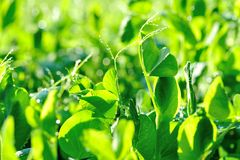Snow peas at growing at vegetable garden Royalty Free Stock Images
