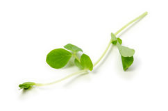 Snow peas leaf Royalty Free Stock Photos