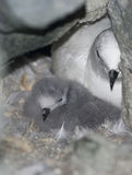 Snow petrel chick in the nest among rocks. Snow petrel chick in the nest among rocks on the Antarctic island Stock Photography