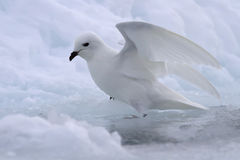 Snow petrel near the gap in the ice Royalty Free Stock Photo