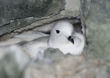 Snow petrel in the nest among rocks. Stock Photography
