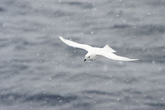 Snow Petrel in a Snow blizzard Royalty Free Stock Photos