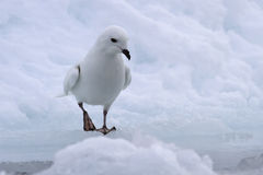 Snow petrel standing on the edge of a crack Royalty Free Stock Images