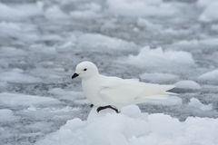 Snow petrel standing on the ice Royalty Free Stock Photos