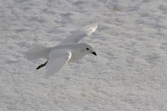 Snow petrel which flies over the snowy plains Stock Photos