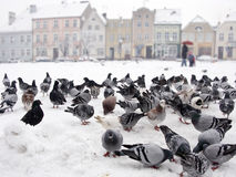 Snow pigeons. Lots of grey pigeons looking for food in a city plaza covered with snow stock image