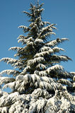 Snow pine. Snow covered pine tree under blue sky in Colli Berici, Italy Royalty Free Stock Photos
