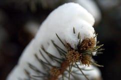 Snow pine. Snow on pine tree royalty free stock photography