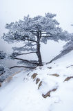 Snow-pine Stock Images