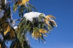 Snow on pine bough. Stock Image