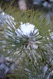 Snow on Pine Branch Stock Photography