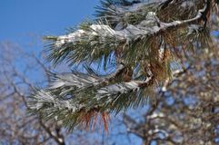 Snow on a Pine Branch Royalty Free Stock Photos