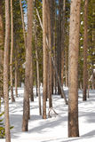 Snow Pine Stock Images
