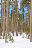 Snow Pine Stock Photography