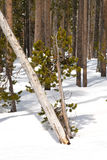 Snow Pine Royalty Free Stock Image