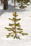 Snow Pine Royalty Free Stock Photography