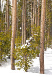 Snow Pine Stock Image