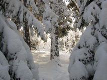 Snow on pine and fir trees. Heavy snow on pine and fir trees in forest Stock Images