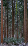 Snow in pine forest Royalty Free Stock Images