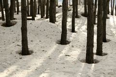 Snow in a pine forest in spring stock photo
