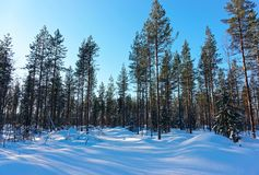 Snow pine forest in winter Lapland. Northern Finland stock image