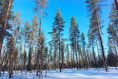 Snow pine forest at winter Lapland. Northern Finland royalty free stock photography