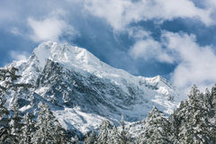 Snow pine and Gongga snow mountain Stock Image