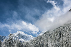 Snow pine and Gongga snow mountain stock images