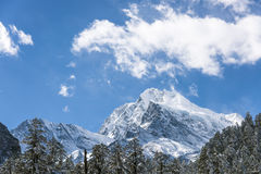 Snow pine and Gongga snow mountain Royalty Free Stock Image