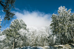 Snow pine royalty free stock images