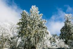 Snow pine Stock Photo