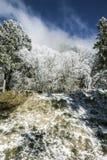 Snow pine Royalty Free Stock Photos