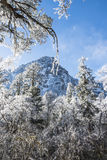 Snow pine Royalty Free Stock Image