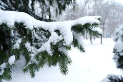 Snow On Pine Needles Royalty Free Stock Photography