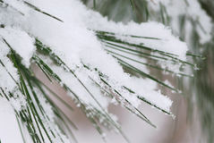Snow on pine needles Royalty Free Stock Photos