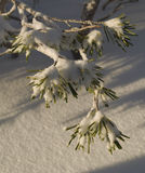 Snow on Pine Needles Royalty Free Stock Image