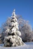 Snow on pine tree Stock Image