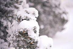 Snow on pine tree branches. Beautiful background for a Christmas card. Winter in Wyoming, USA Royalty Free Stock Photography