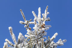 Snow on pine tree Royalty Free Stock Image