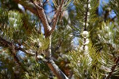 Snow on Pine Tree Closeup Royalty Free Stock Photos