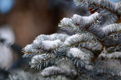Snow on Pine Tree Closeup Royalty Free Stock Photo