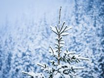 Snow on Pine Tree. In the forest Royalty Free Stock Photography