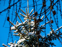 Snow pine tree Stock Photography